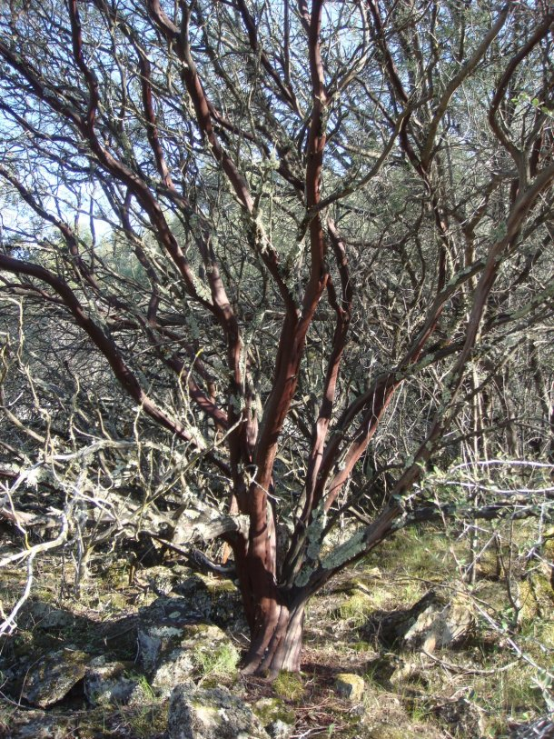 old-growth-manzanita