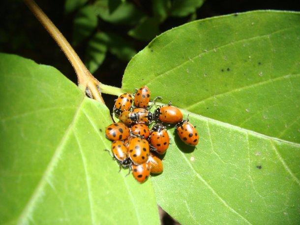 lady-bug-cluster
