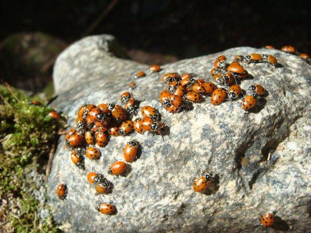 ladybug-swarm-feather-falls