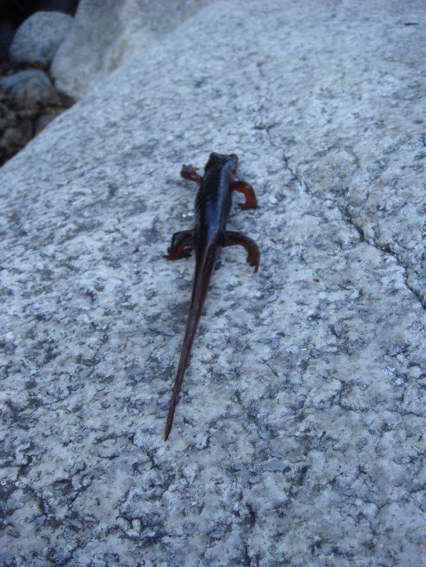 salamander-yuba-river