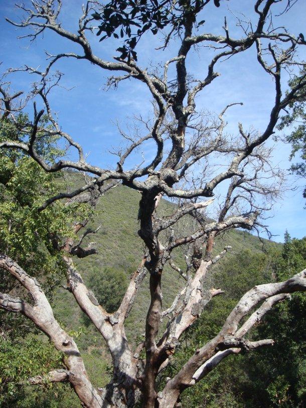 sudden-oak-death