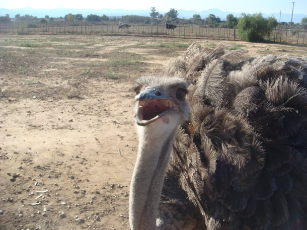 ostrich-farm-south-africa