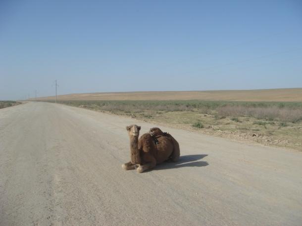 camel-afghanistan