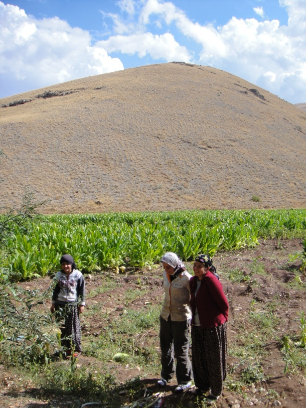 harvesting tobacco kurdistan