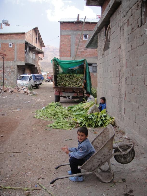 sorting-tobacco-leaves-kurdistan