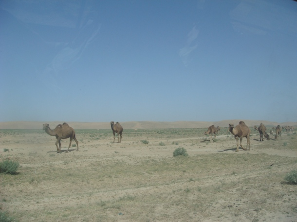 wild-camels-afghanistan
