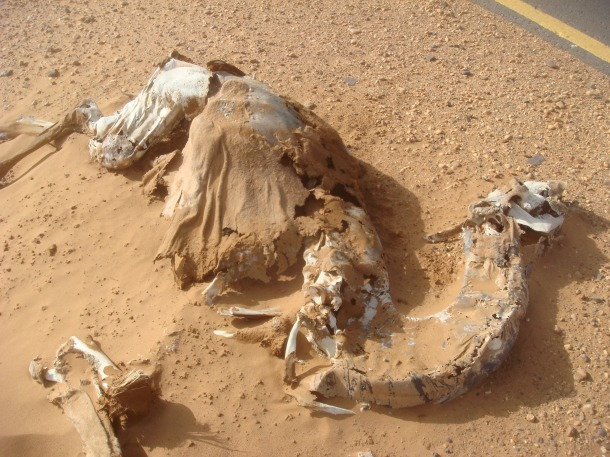 camel-killed-on-road