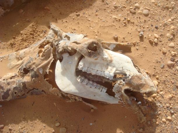 dead-camel