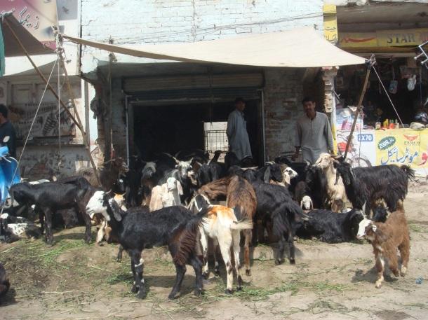 goats-peshawar-pakistan