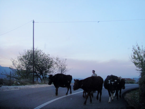 cattle-drive-albania