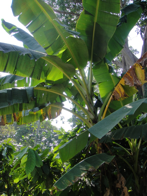 Chuao-venezuela-bananas