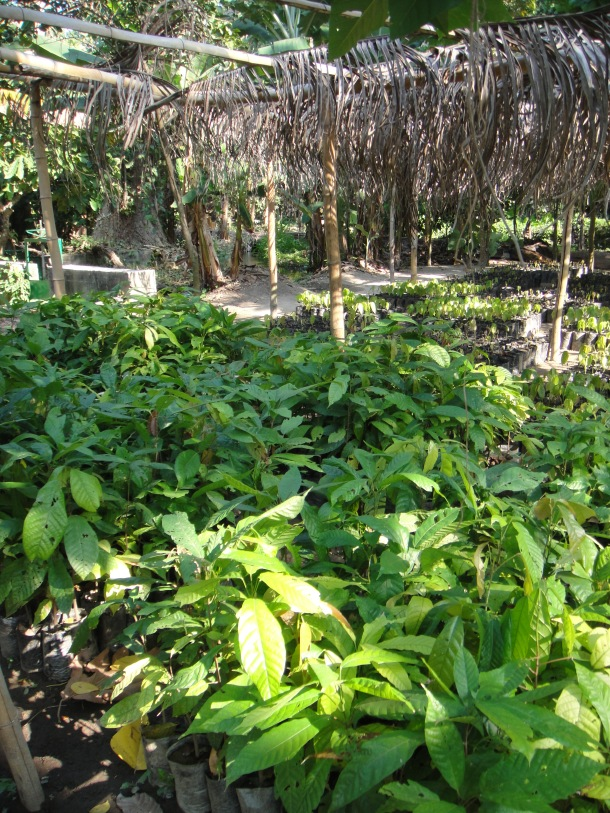 seedlings-banana-plantation-venezuela