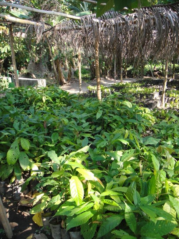 seedlings-banana-plantation-venezuela