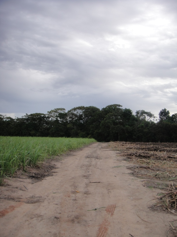 Alagoas sugar cane fields
