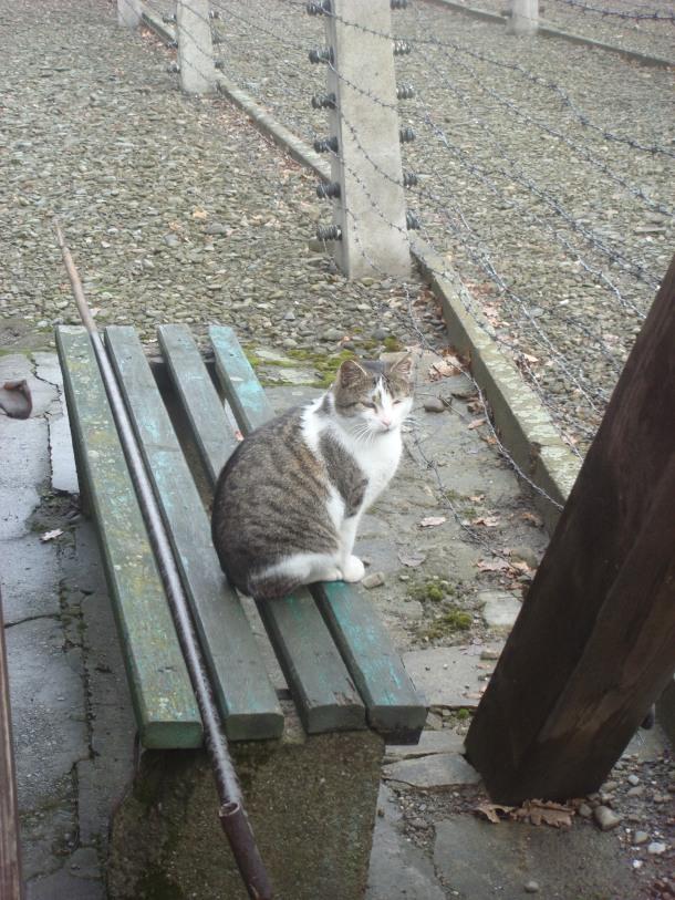 auschwitz cat