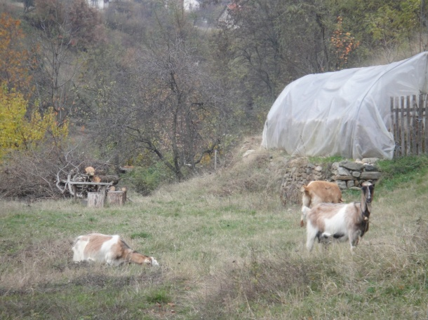 Goats in Macedonia