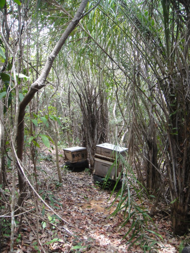 The killer bee hives in the jungle of Brazil
