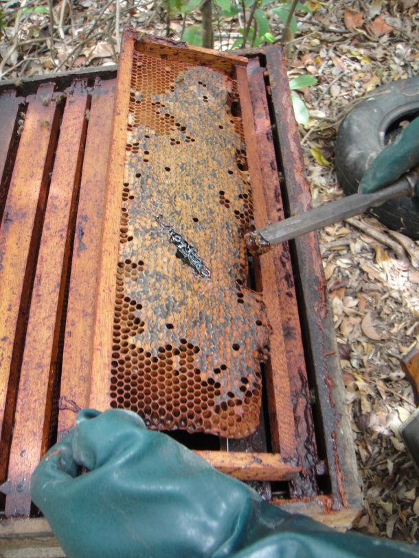Exposing the red propolis