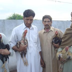 Bird Fighting inPakistan