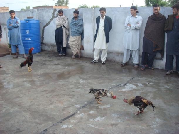 cockfighting-pakistan
