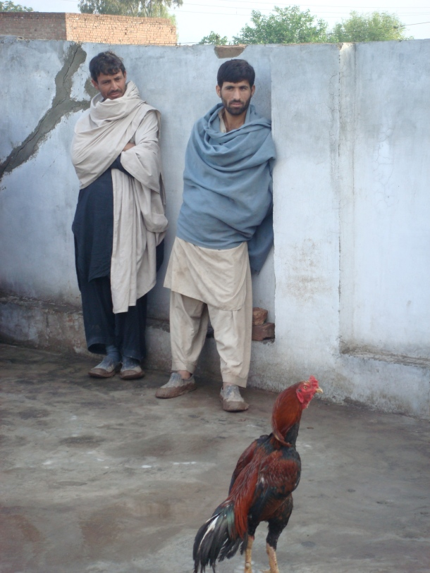 fighting-cock-pakistan