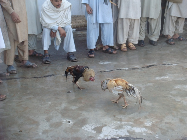 fighting-roosters-pakistan