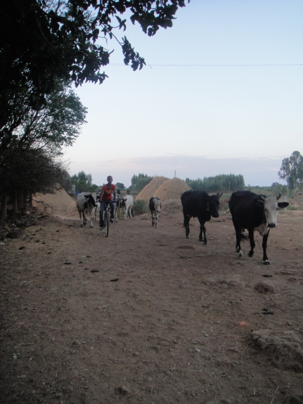 cattle drive in Bahir Dar