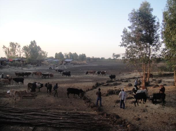 Bahir Dar cattle market