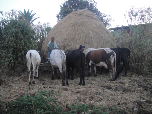 cattle market in Bahir Dar