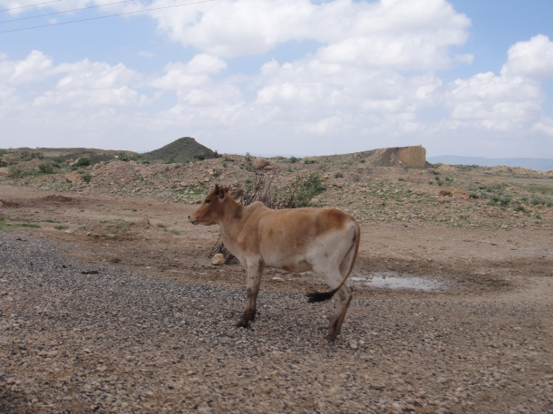 cow shying away from us along Jijiga road.  Livestock is a major source of income in jijiga