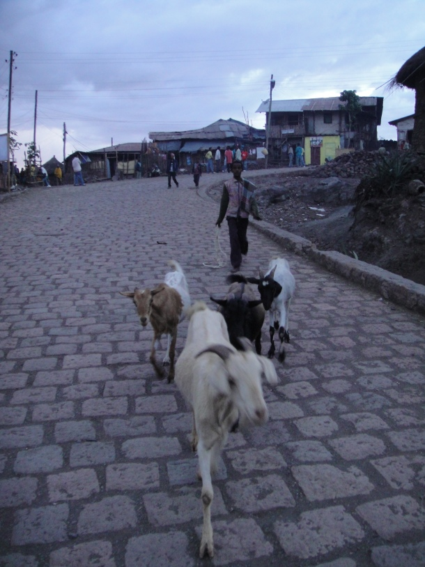 goats going down the road in Lalibela