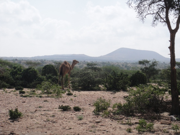 Wild camels of Somalia