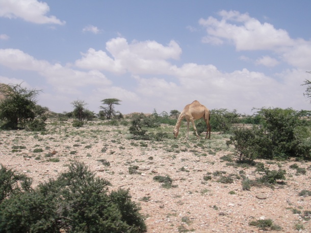 Wild camel in Somalia countryside