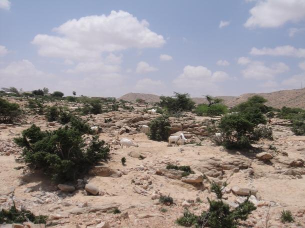 Goats in Somalia