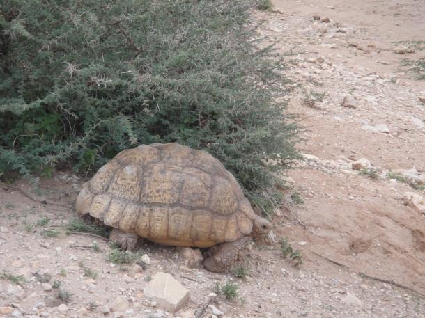 Wild Tortoise in Somalia