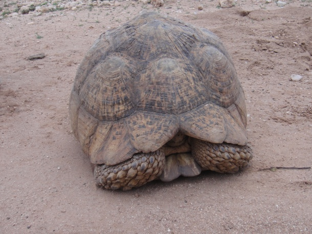 A tortoise in the Somali Countryside
