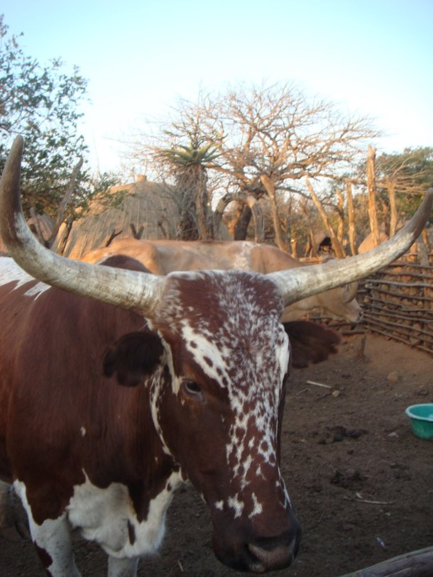 cattle-zululand