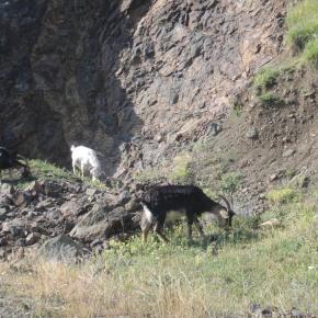 Goats In Nagorno-Karabakh