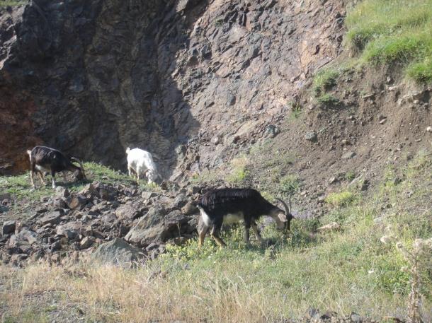 nagorno-karabakh goats