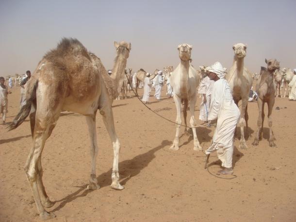 camel-market-in-sudan