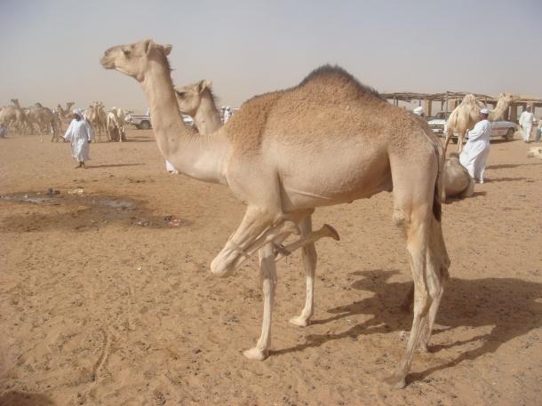 camel-market-omdurman