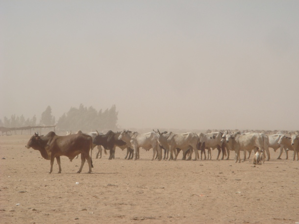 omdurman-cattle-market