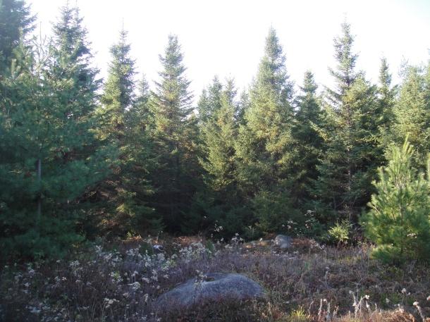 golden road forest