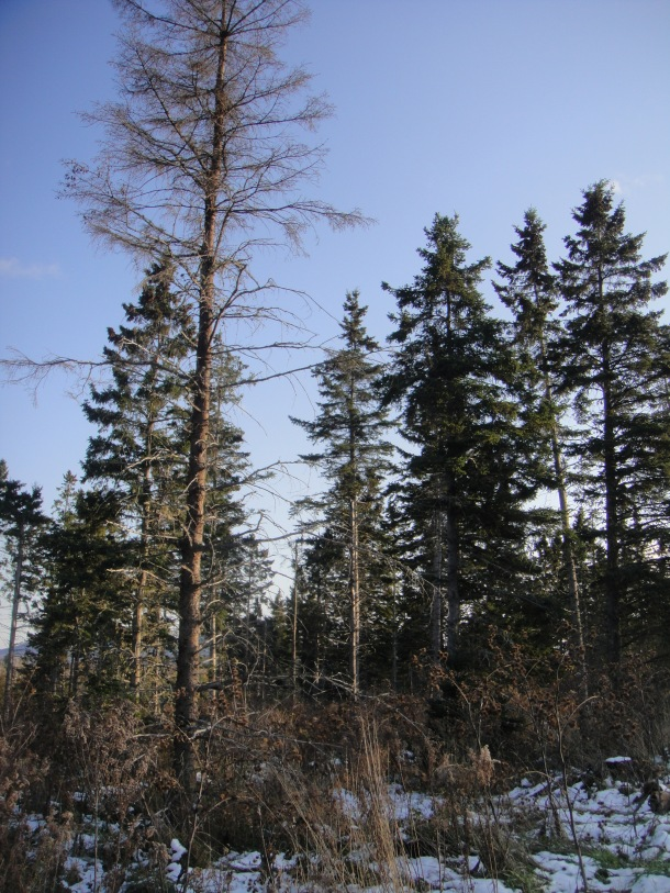 maine timberland