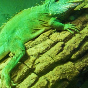 Photo Of The Day: Chinese Water Dragon