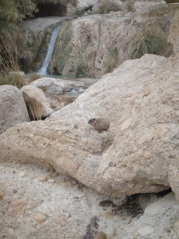 rock hyrax ein gedi nature reserve