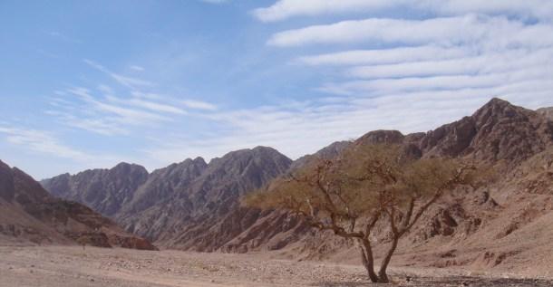 sinai desert acacia tree