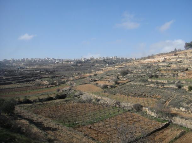 grapes palestine