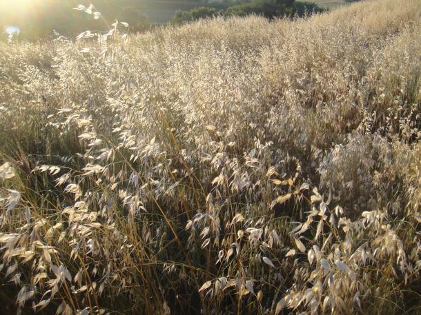 grasses in the sun dragona