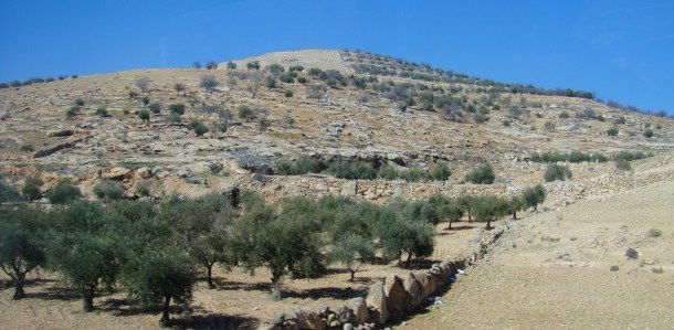 land of olives palestine